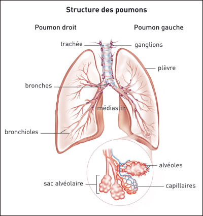 anatomie des poumons page 1 bpco k sako bpco belgique. Black Bedroom Furniture Sets. Home Design Ideas